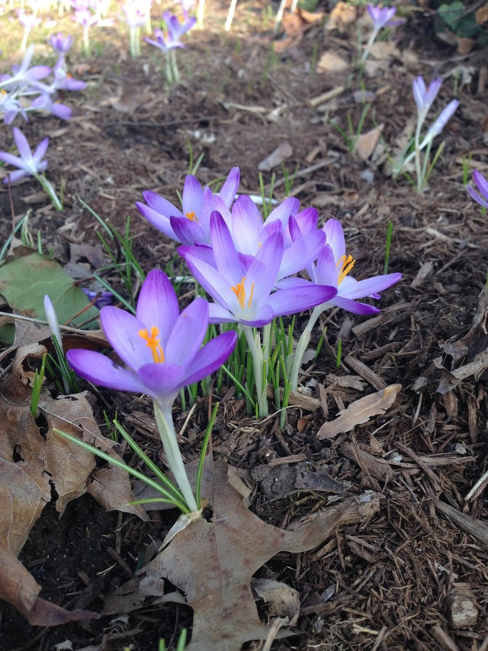 Crocuses come up very early in the spring