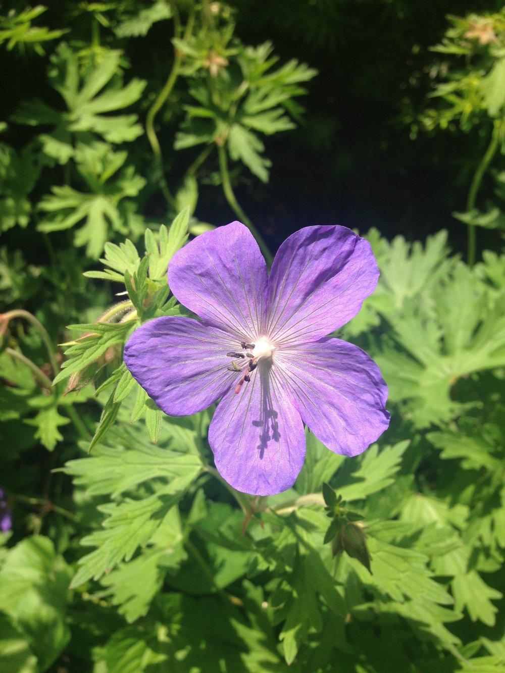 geranium 03.jpg