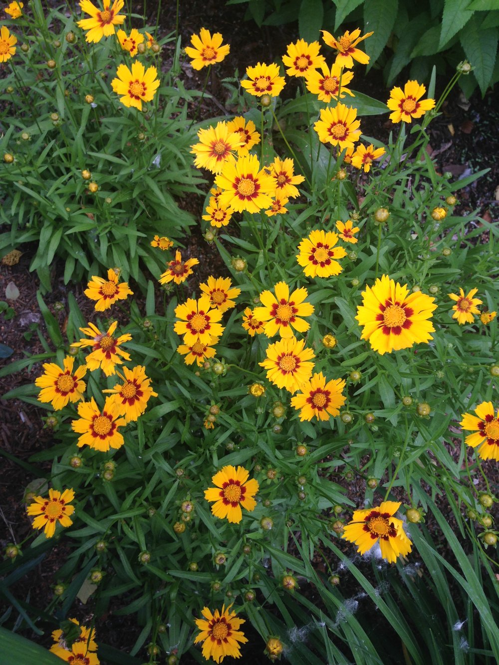 Coreopsis (photo by Maria Gulley)