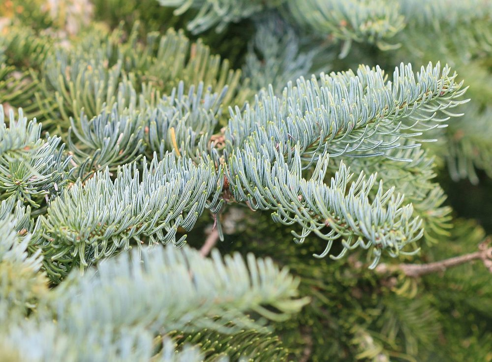 By S. Rae from Scotland, UK - Abies procera (Noble fir), CC BY 2.0