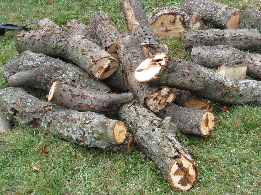 Trees infested by ALB are cut down, and can be used as traps to lure in other adult beetles in the area. Image courtesy of USDA