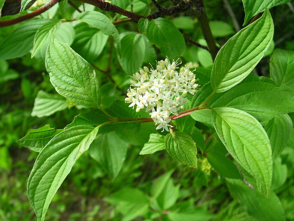 By Superior National Forest - Cornus stolonifera 1Uploaded by AlbertHerring, CC BY 2.0