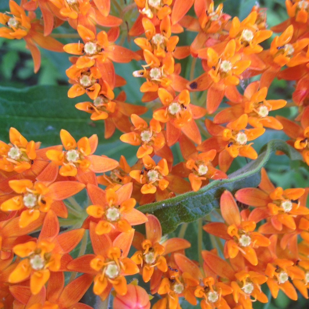 Butterfly Weed Photo by Maria Gulley