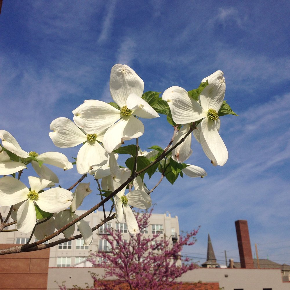 Flowering Dogwood Photo by Maria Gulley