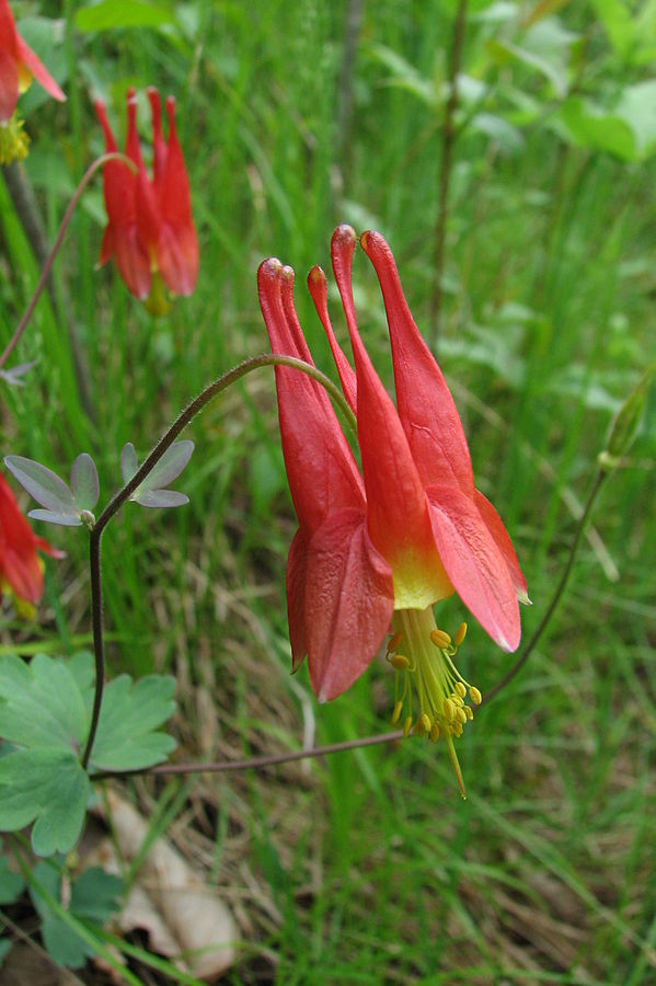 Our native columbine species. By Ragesoss - Own work, CC BY-SA 3.0