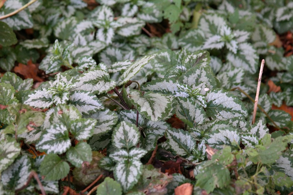 Lamium has some good variegated options