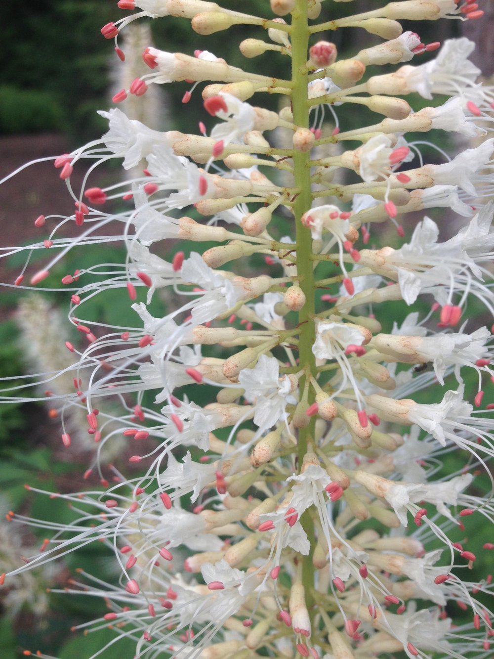 Bottlebrush Buckeye flower Photo by Maria Gulley