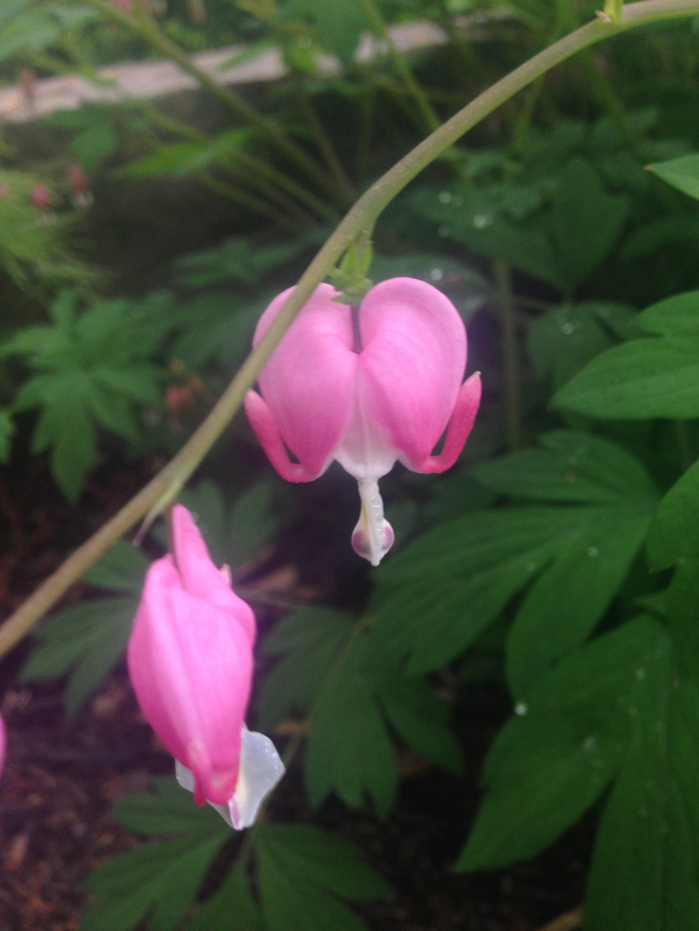 Bleeding Heart Photo by Maria Gulley
