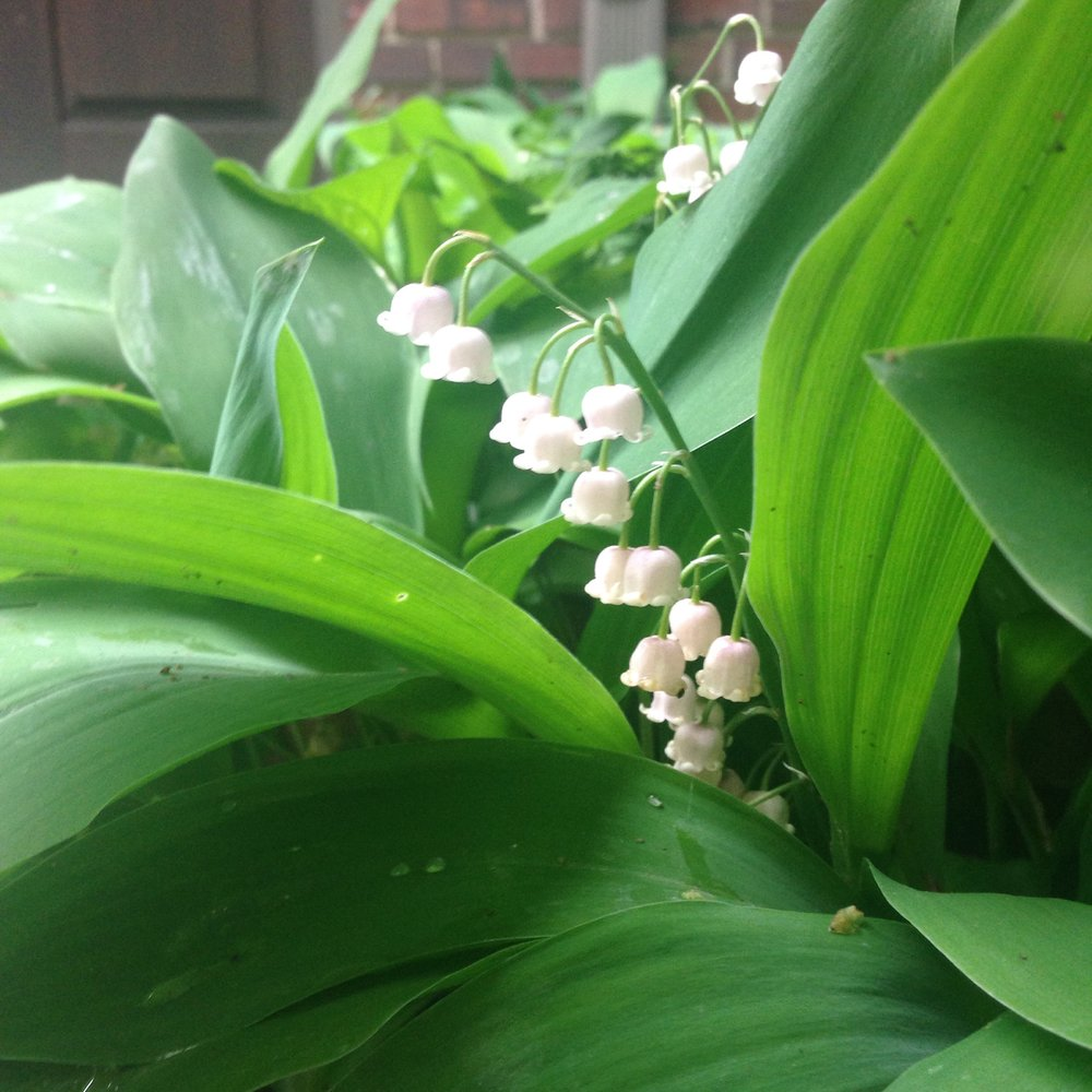 Lily-of-the-valley Photo by Maria Gulley