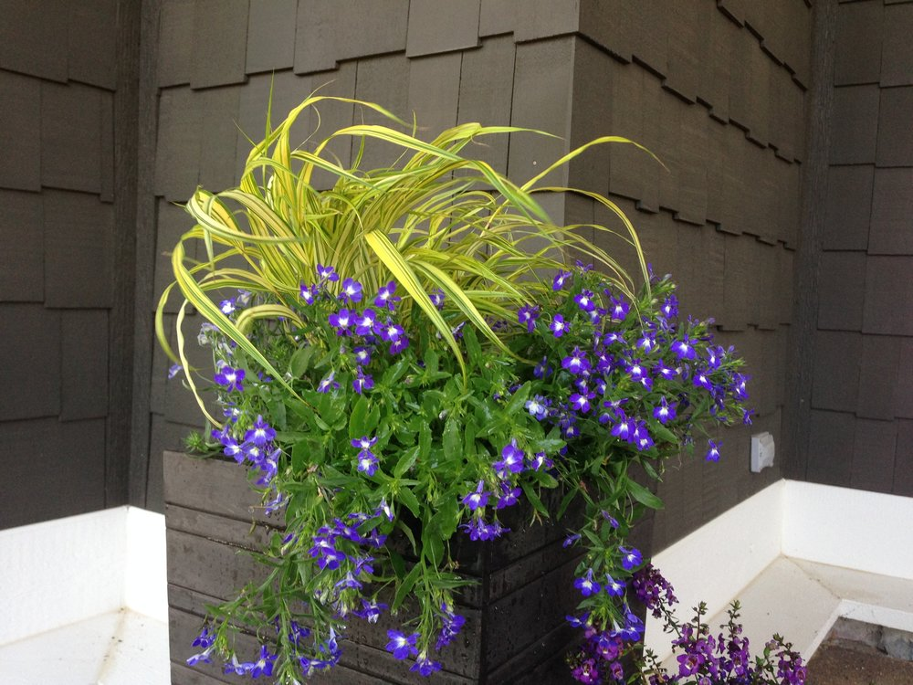 Lobelia and Japanese Forest Grass Photo by Maria Gulley