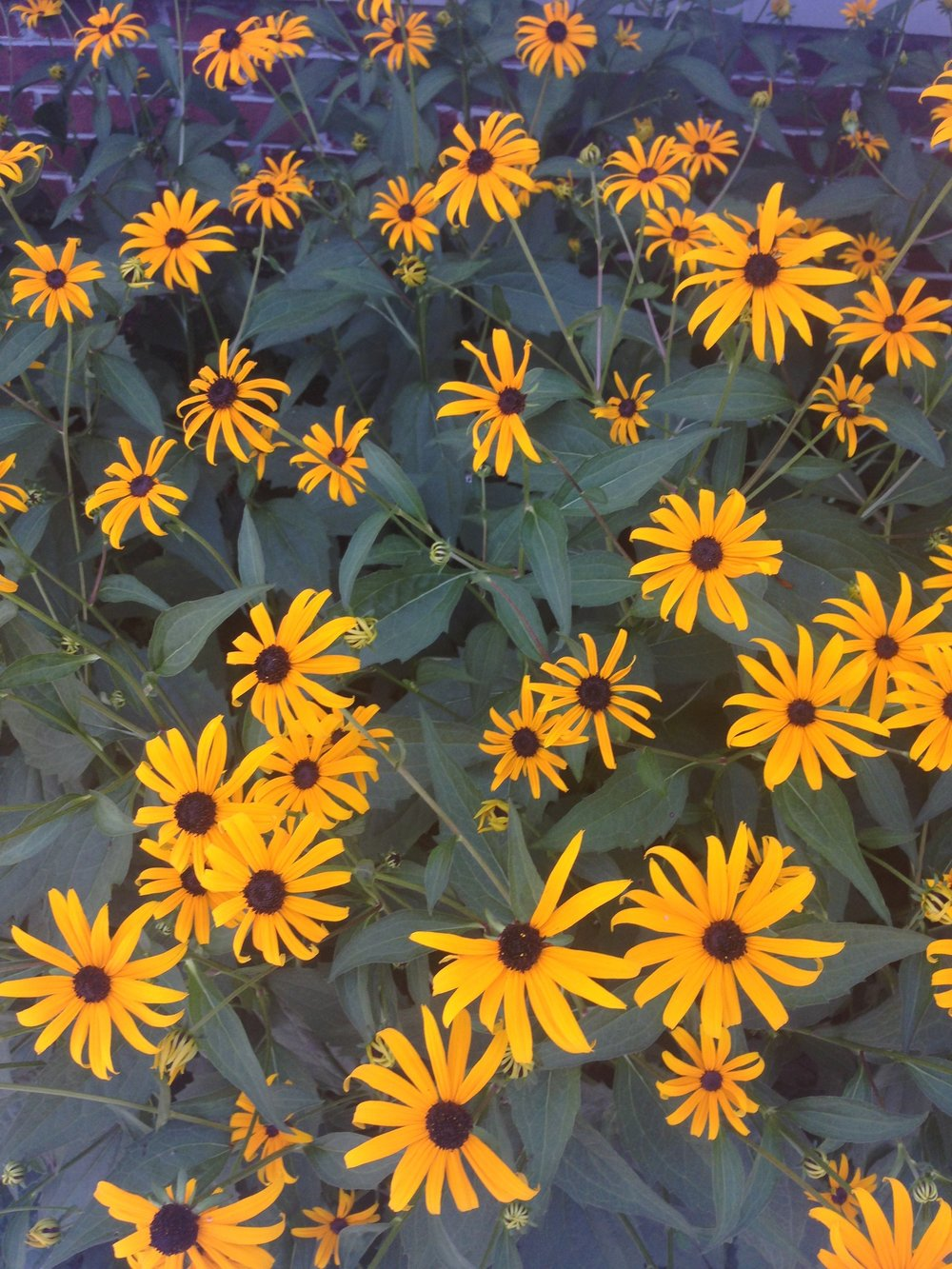 Black-Eyed Susan spreads to quickly, you'll definitely want to divide it to keep it in check. Photo by Maria Gulley
