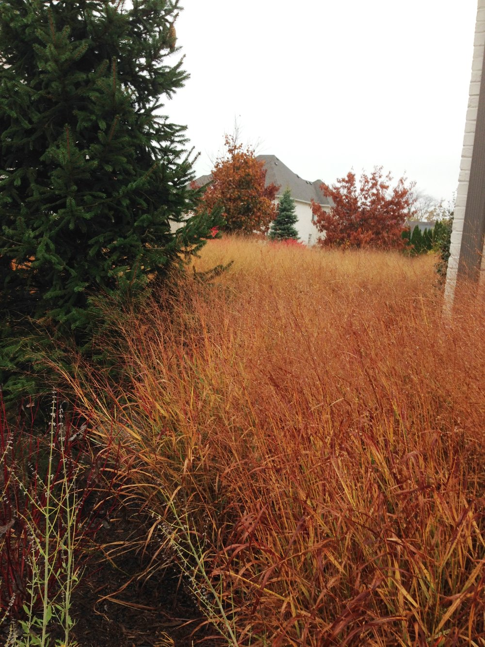 Switchgrass looks stunning this time of year, and even though it loses some color by winter it's still worth leaving up. Photo by Maria Gulley