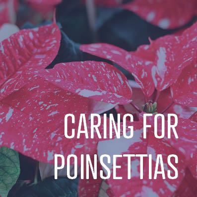12-20-17 caring for poinsettias.jpg