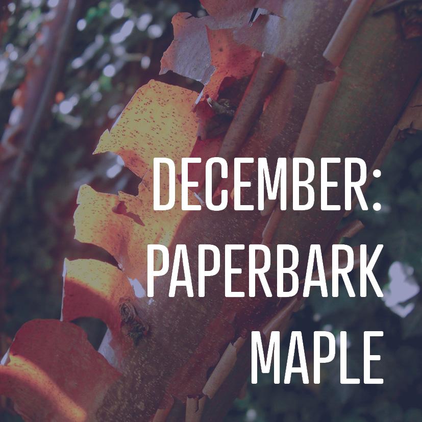 12-23-16 December- paperbark maple.jpg
