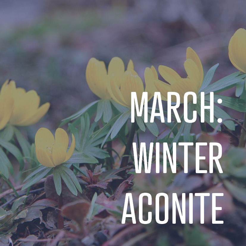 03-14-16 march winter aconite.jpg