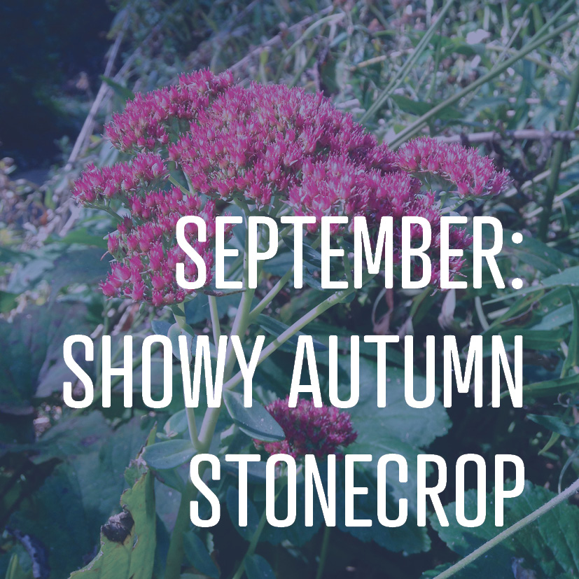 09-02-16 september sedum.png