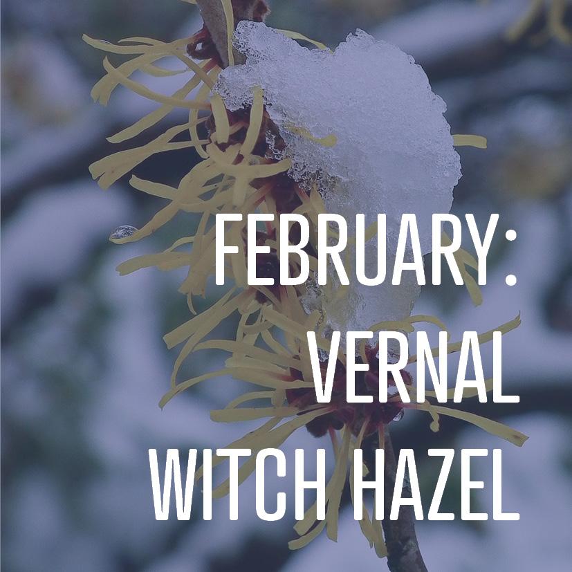 02-05-16 february - vernal witch hazel.jpg