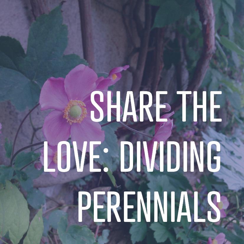 10-27-17 dividing perennials.jpg