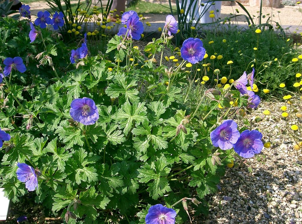 'Johnson's Blue' and other purple-flowered geraniums tend to be larger overall.  By I, KENPEI, CC BY-SA 3.0
