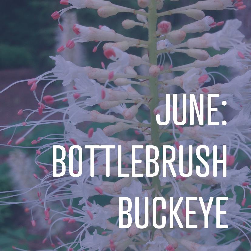 06-02-17 June bottlebrush buckeye.jpg