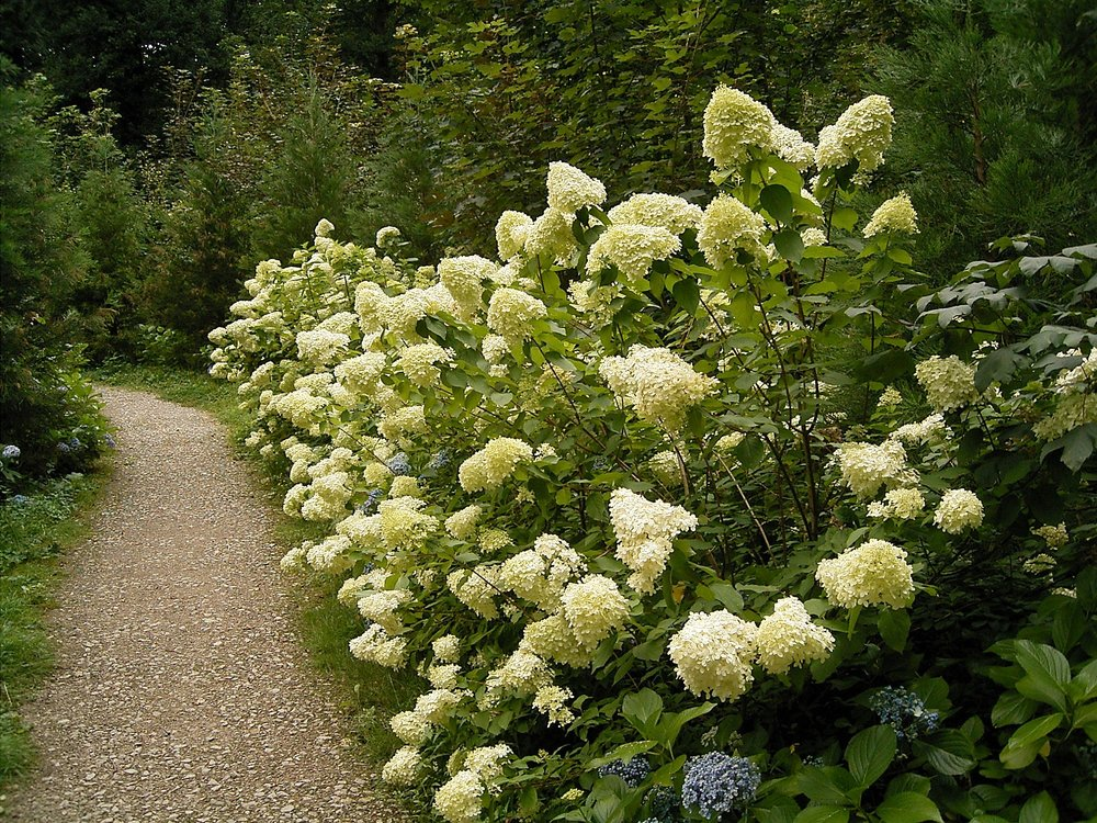 Hydrangea paniculata  'Limelight' has greenish white flowers with very densely packed bracts.  By Frank Vincentz - Own work, CC BY-SA 3.0