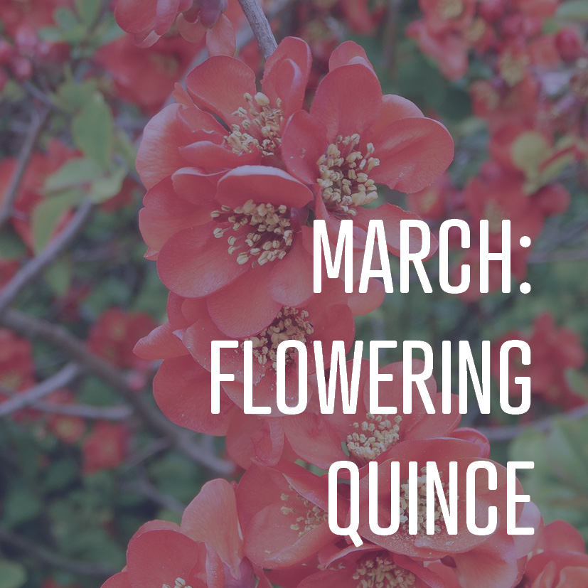 03-03-17 march flowering quince.jpg