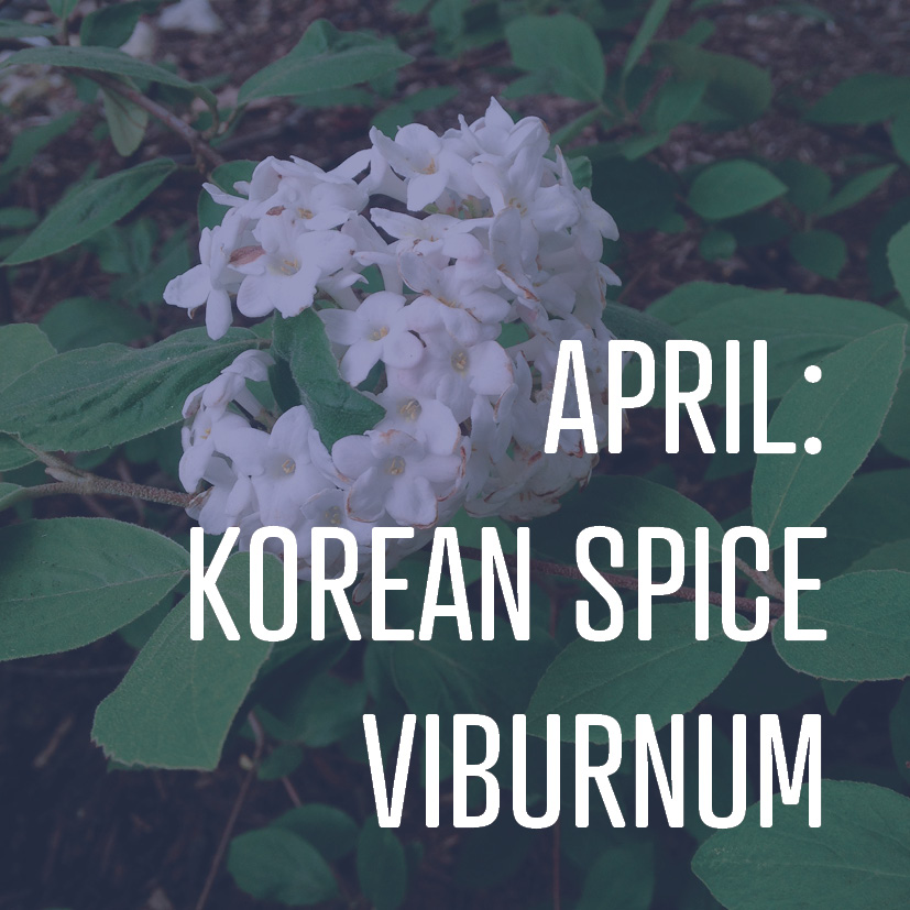 04-01-16 april korean spice viburnum.jpg