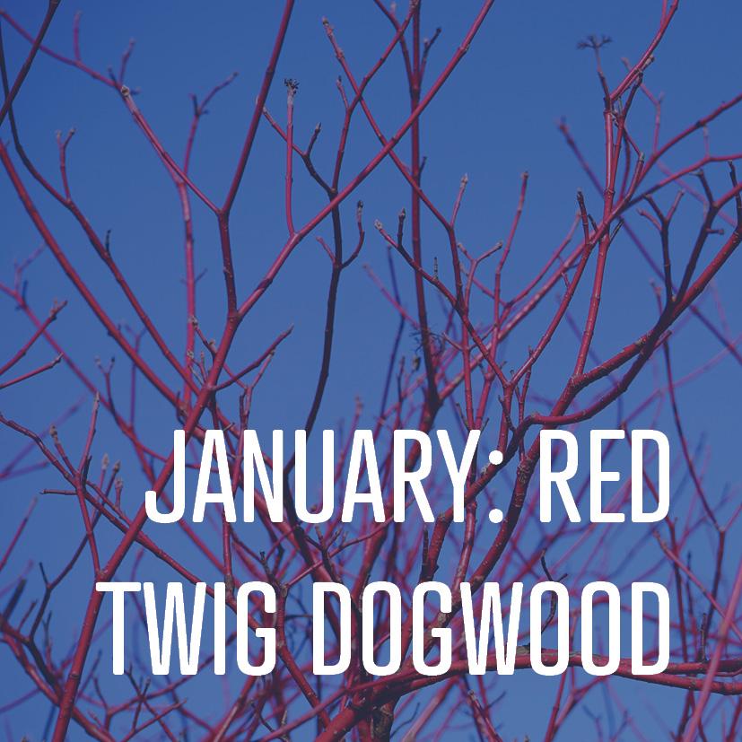 01-01-16 January red twig dogwood.jpg