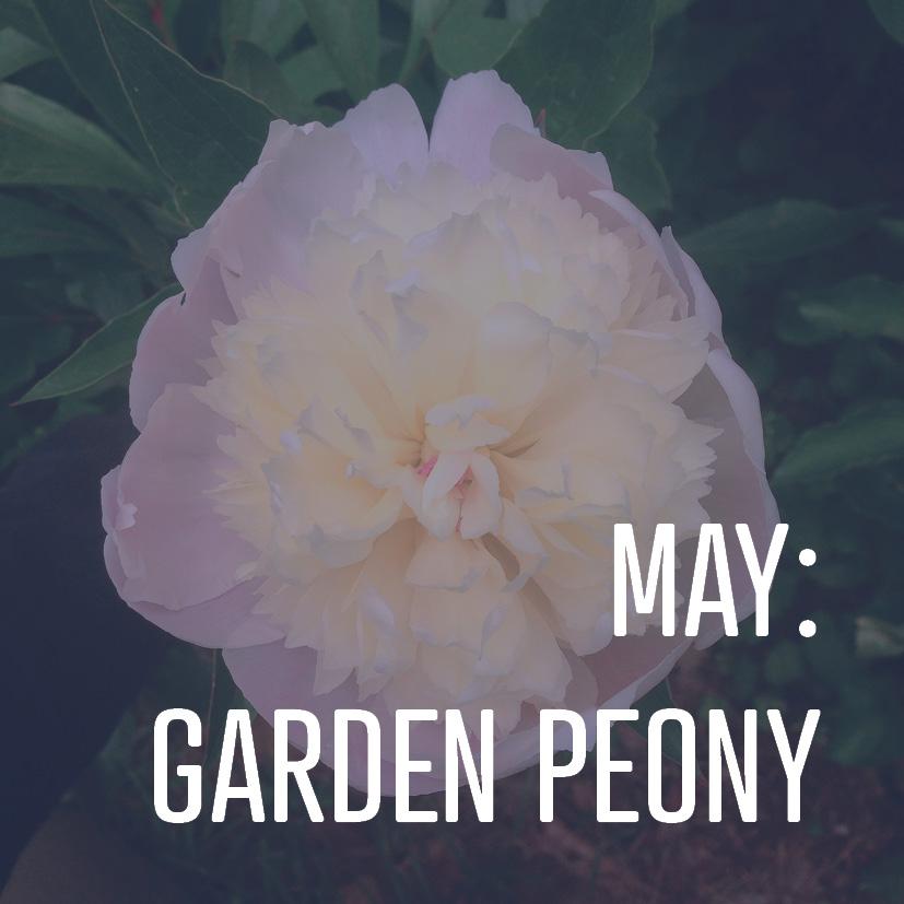 05-06-16 may- garden peony.jpg