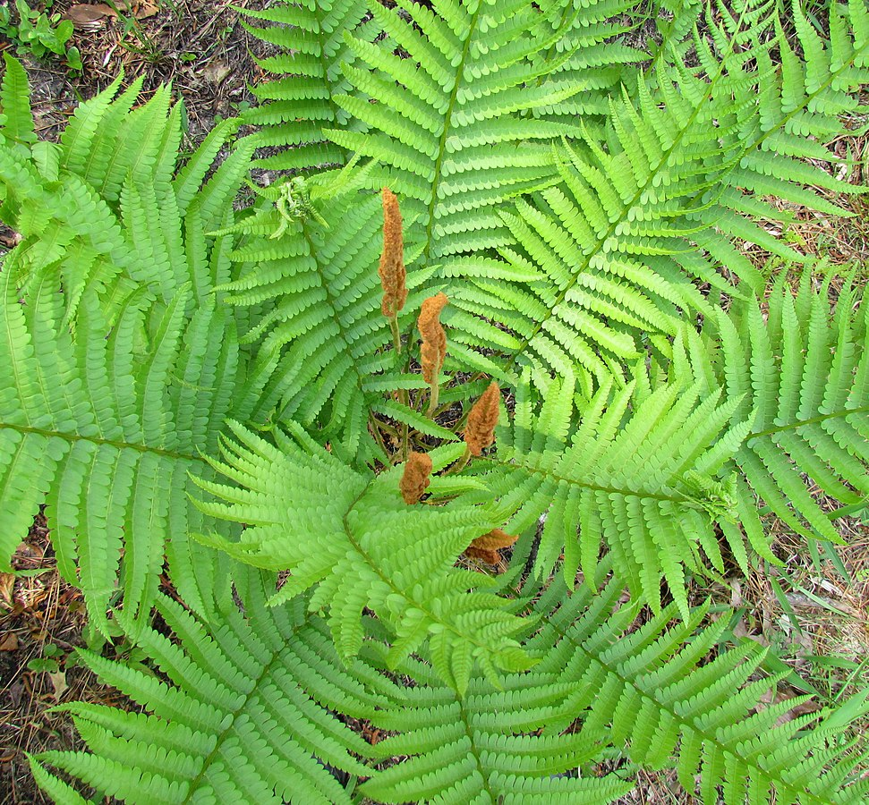 By bobistraveling - Cinnamon Fern Long Valley Farm Carver Creek NC, Uploaded by AlbertHerring, CC BY 2.0