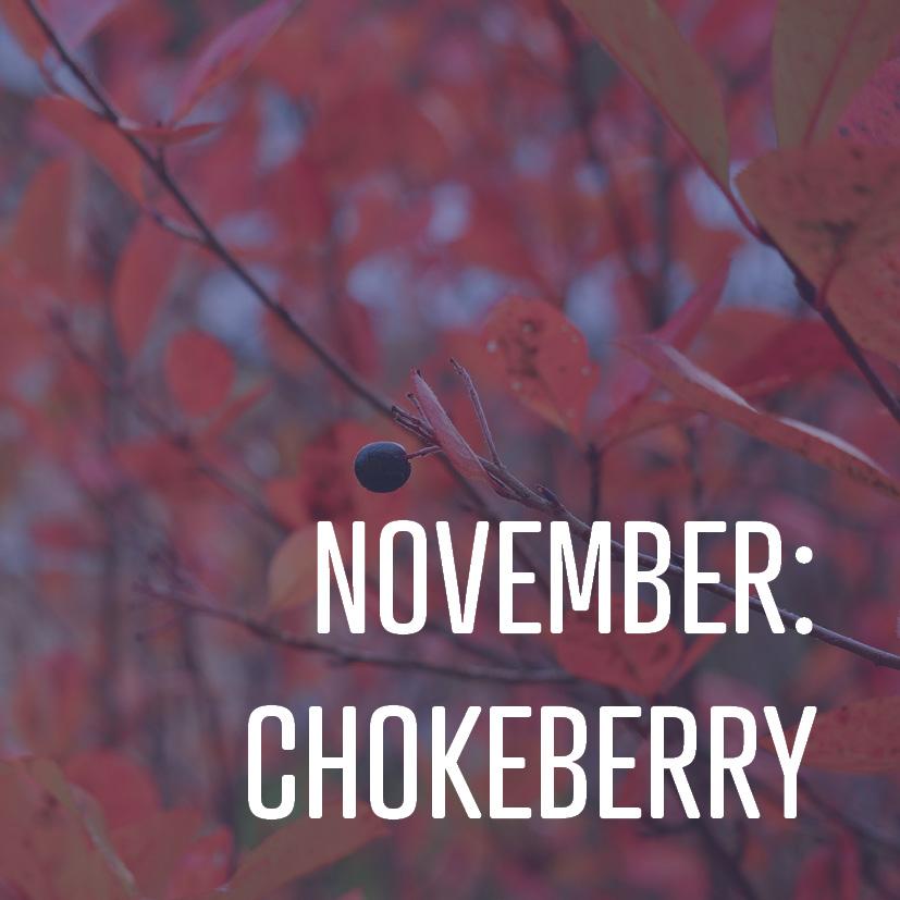 11-04-16 november- chokeberry.jpg