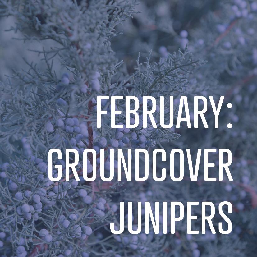 02-08-18 february groundcover junipers.jpg