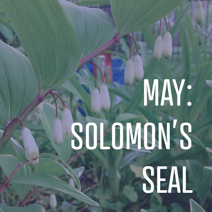 05-01-18 may solomon's seal.jpg