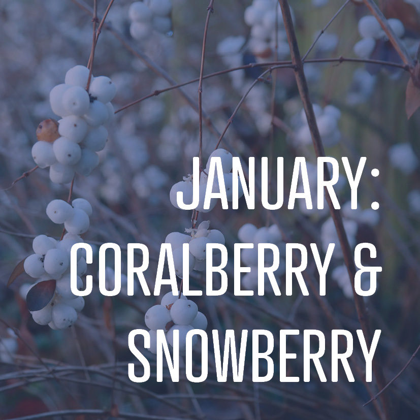 01-09-18 JANUARY CORALBERRY AND SNOWBERRY.jpg