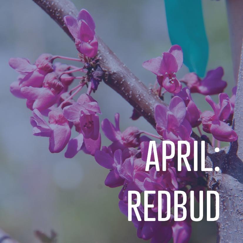 04-03-18 april redbud.jpg