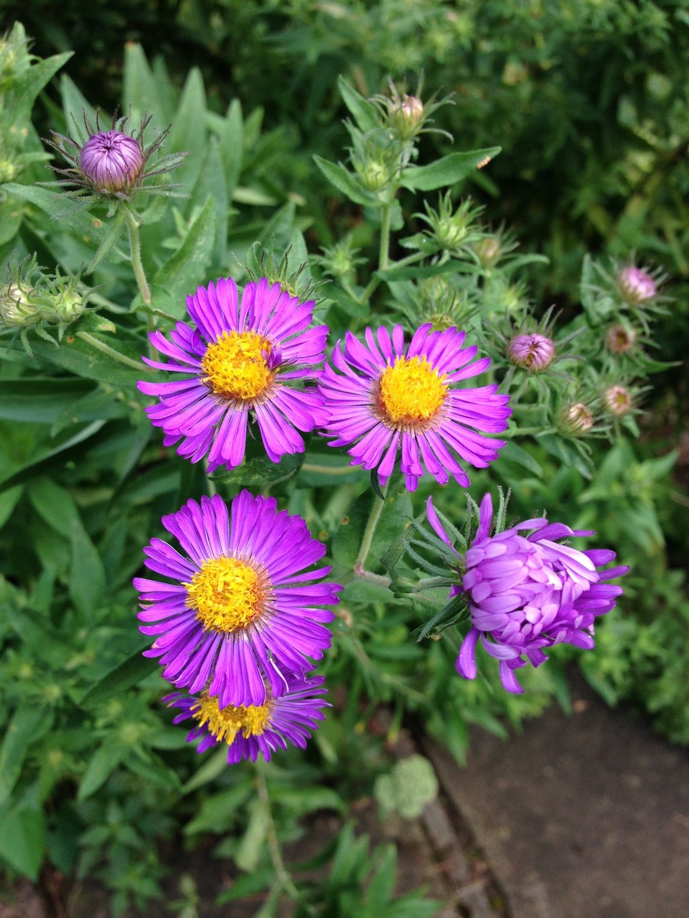 Aster Photo by Maria Gulley