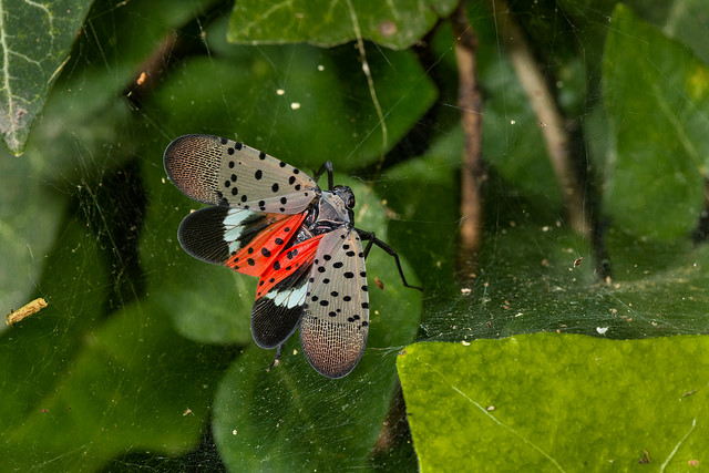 Spotted lanternfly (Lycorma delicatula) adult winged, in Pennsylvania, on July 20, 2018. USDA-ARS Photo by Stephen Ausmus.