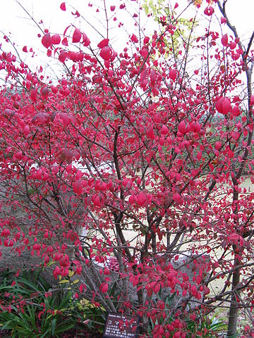 Burning Bush  By I, KENPEI, CC BY-SA 3.0