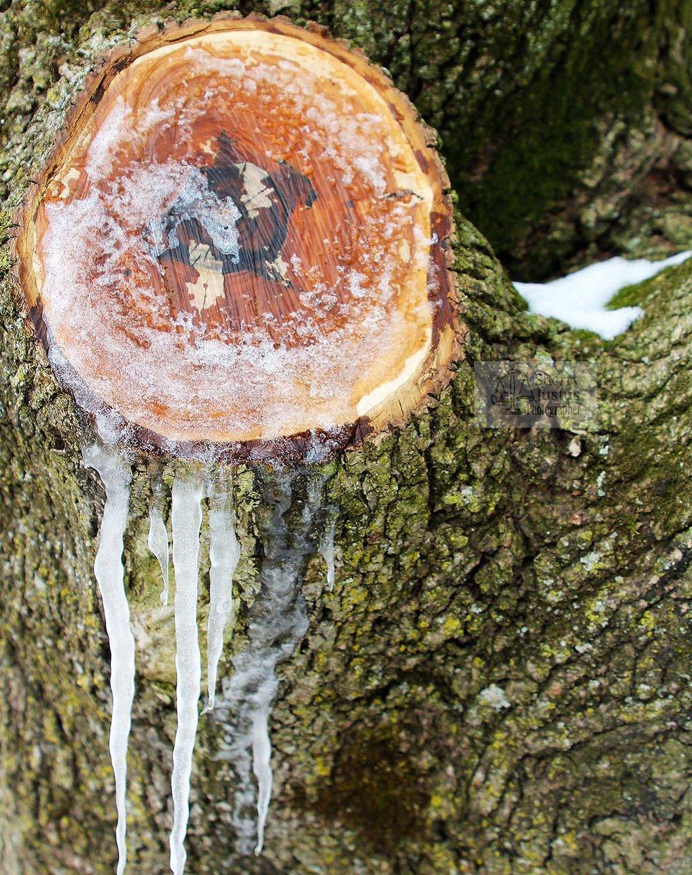 Weeping oak