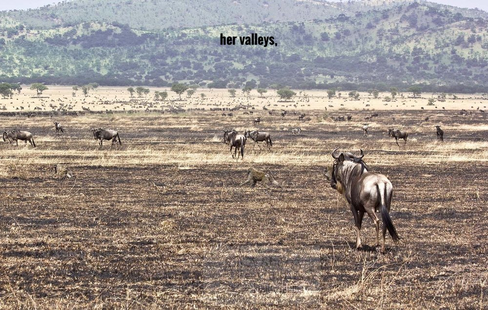D_wildebeest in burn2_touch (1).jpg