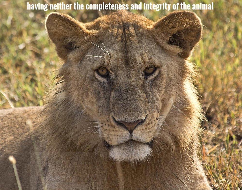 K_lion2_touch.jpg