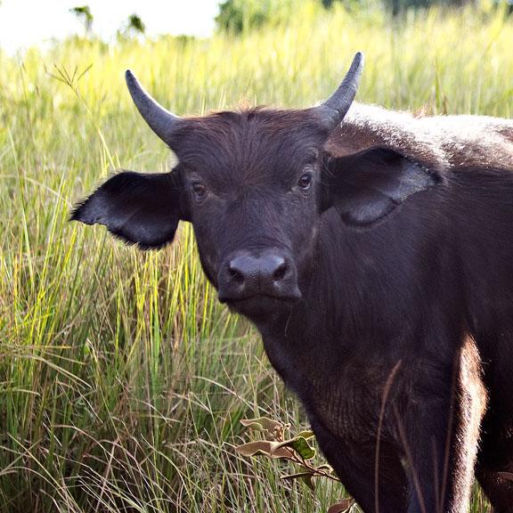 buffalo2.jpg