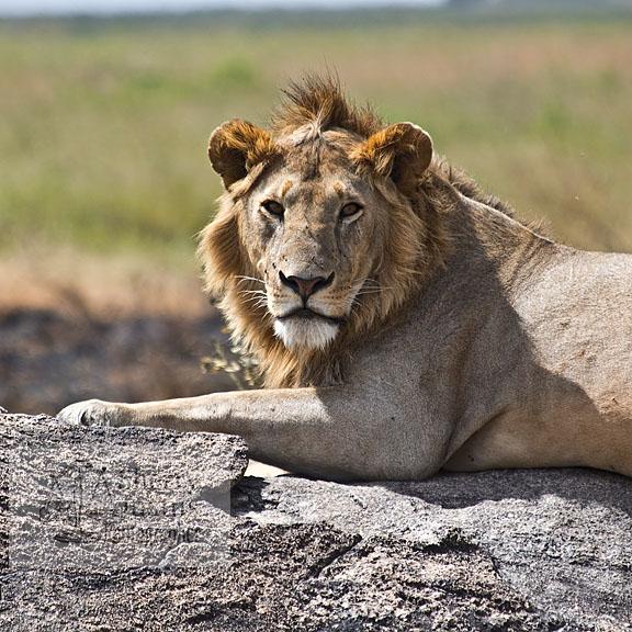 lion number 2.jpg