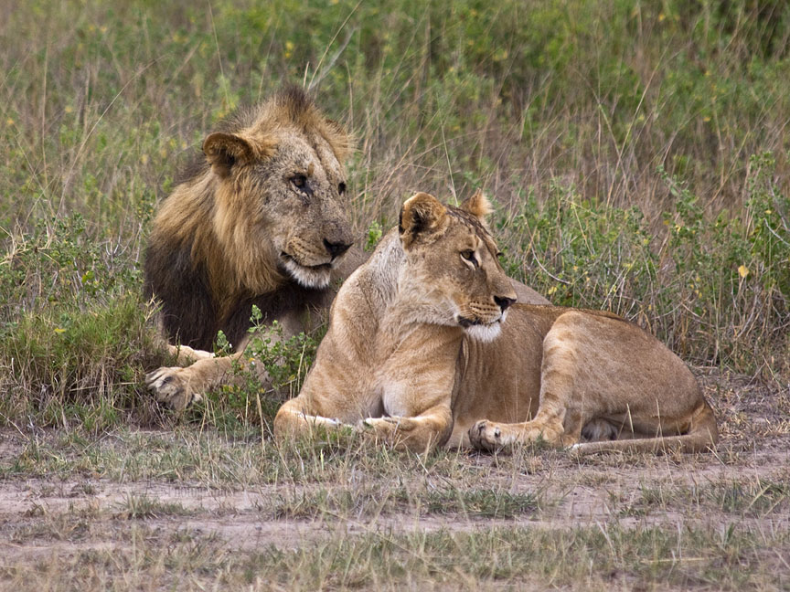 Lionesses prefer lions with darker, thicker manes: appearances matter.