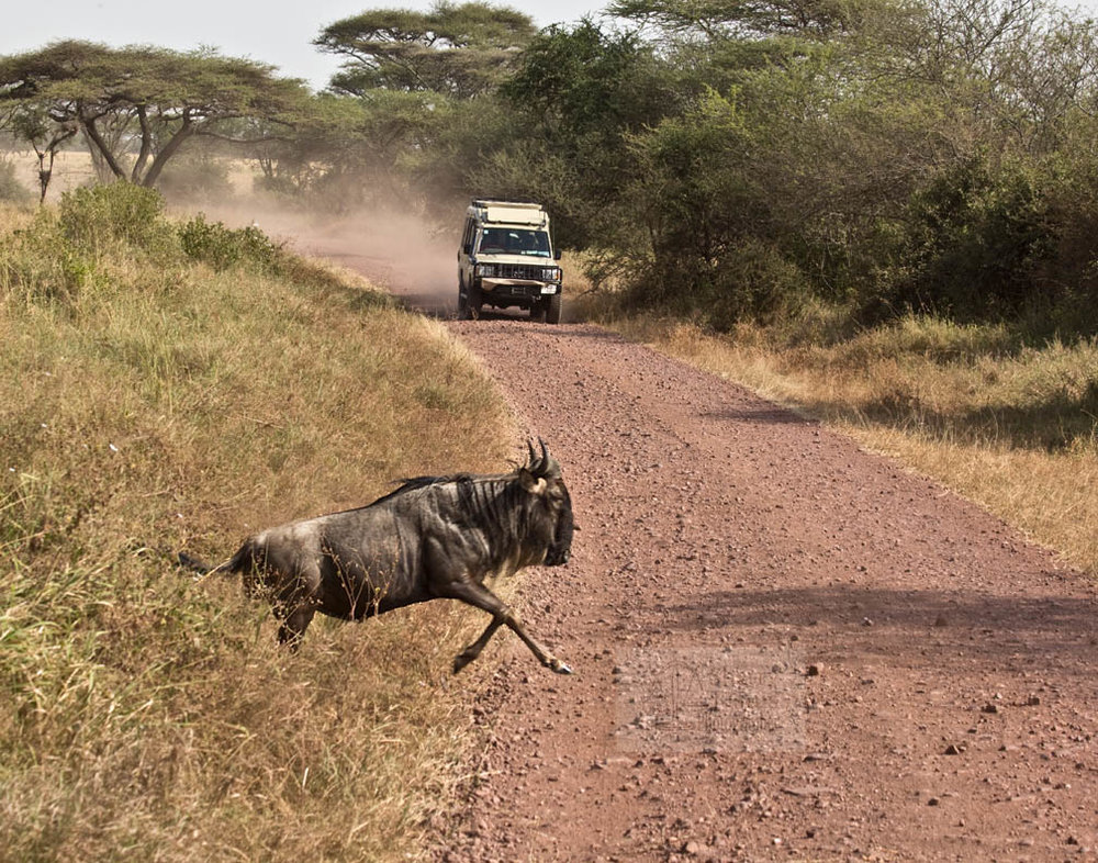 Wildebeest pick up stakes and move frequently.