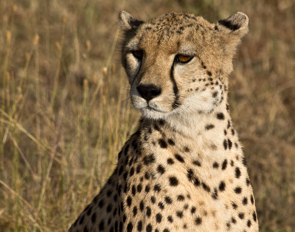 Cheetahs make distinct facial expressions to signal their moods.