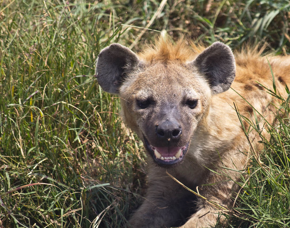 "Hyenas don't ""laugh""; the sound they make is more like a nervous chuckle, showing submission to more dominant hyenas."