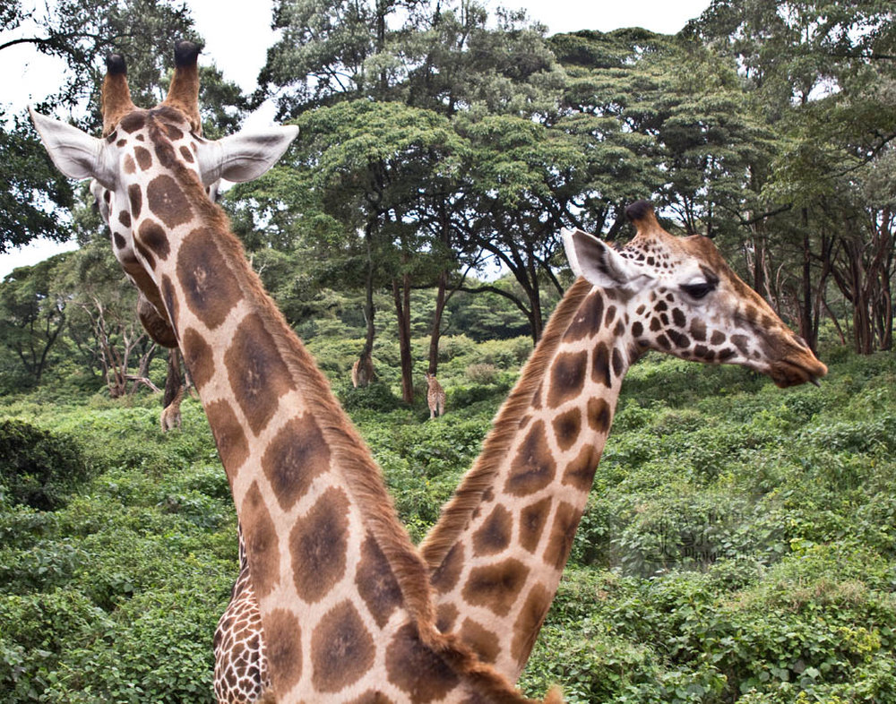 "Male giraffes ""neck"" and have been known to mount each other."