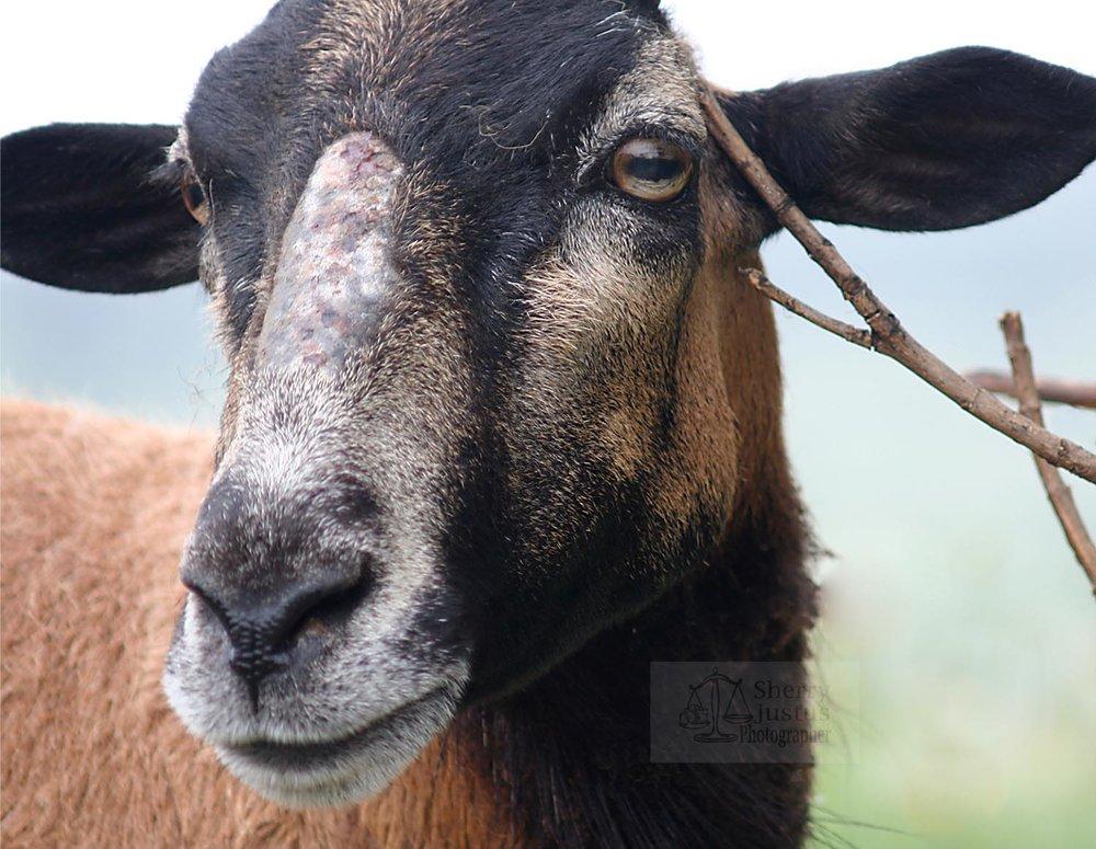 Goat gaze