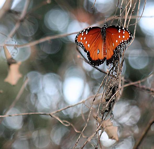 queen butterfly redo_watermarked.jpg